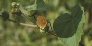 The first velvetleaf of the season has been found in Otago